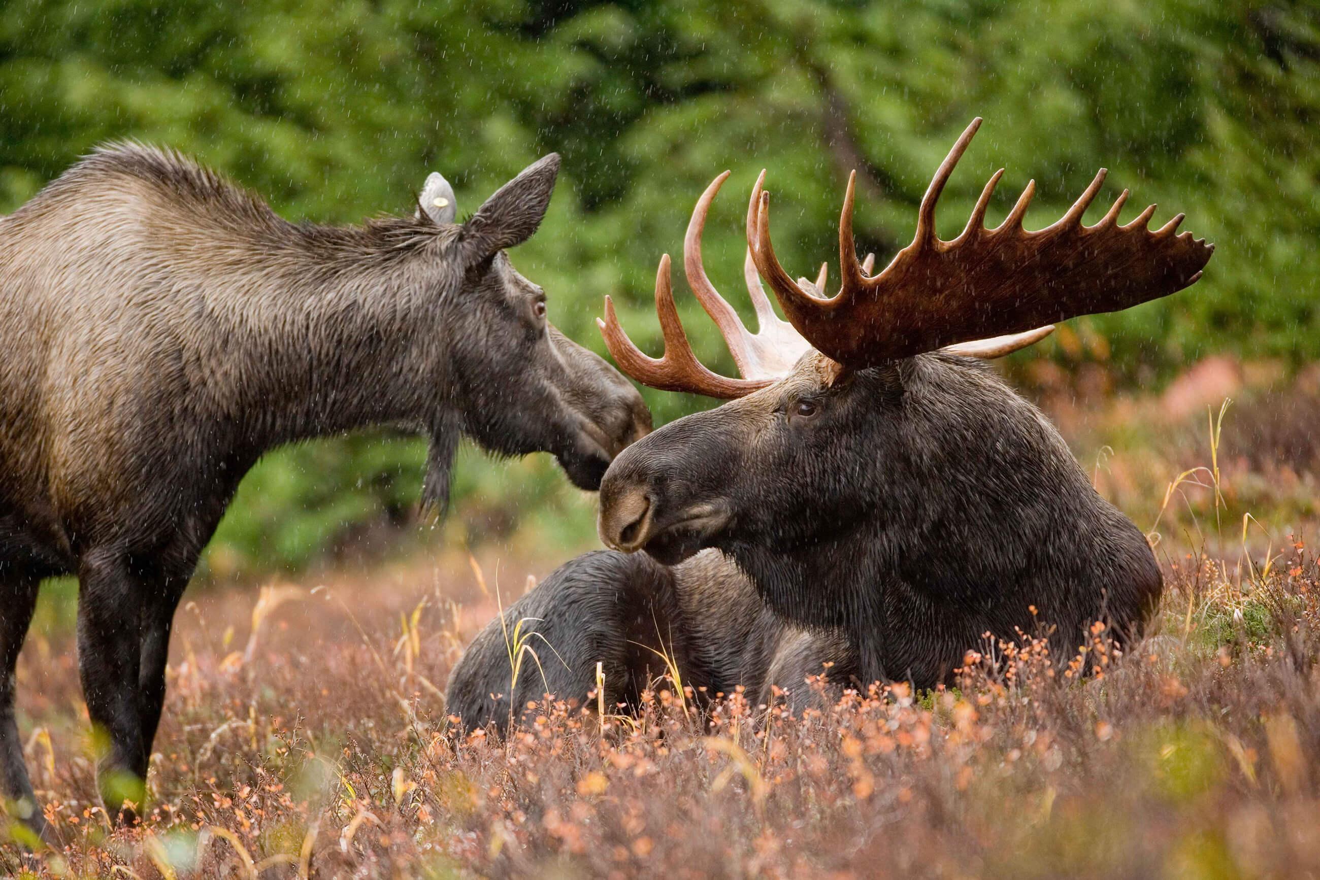 https://bubo.sk/uploads/galleries/16051/moose-591110-1.jpg