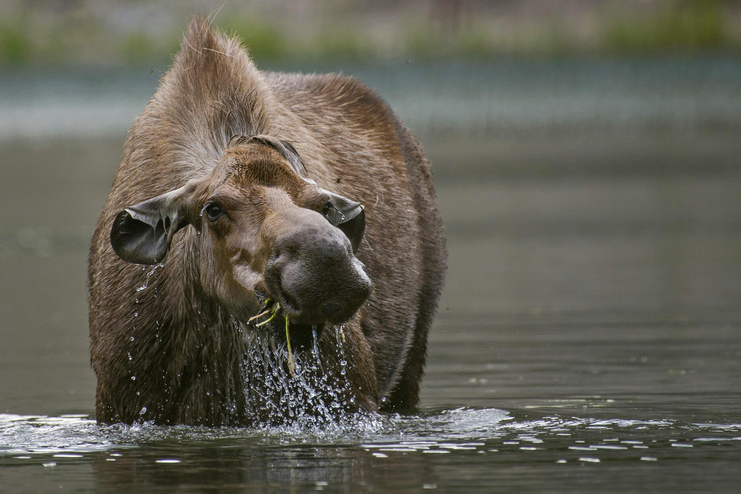https://bubo.sk/uploads/galleries/16052/pxb_aljaska_moose-3933058-1.jpg