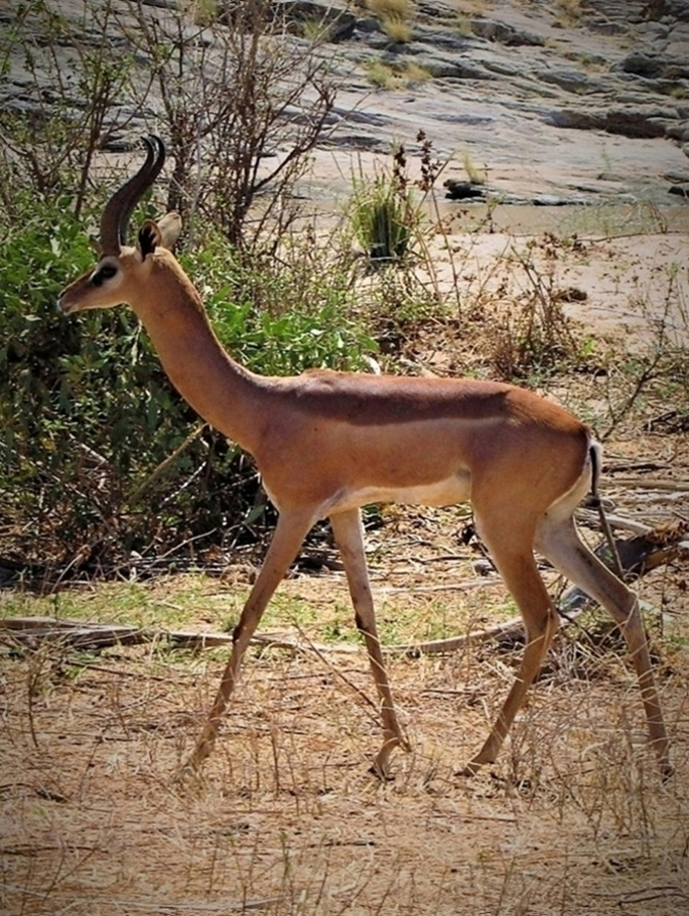 https://bubo.sk/uploads/galleries/16289/samburu-gerenuk-img_9079.jpg