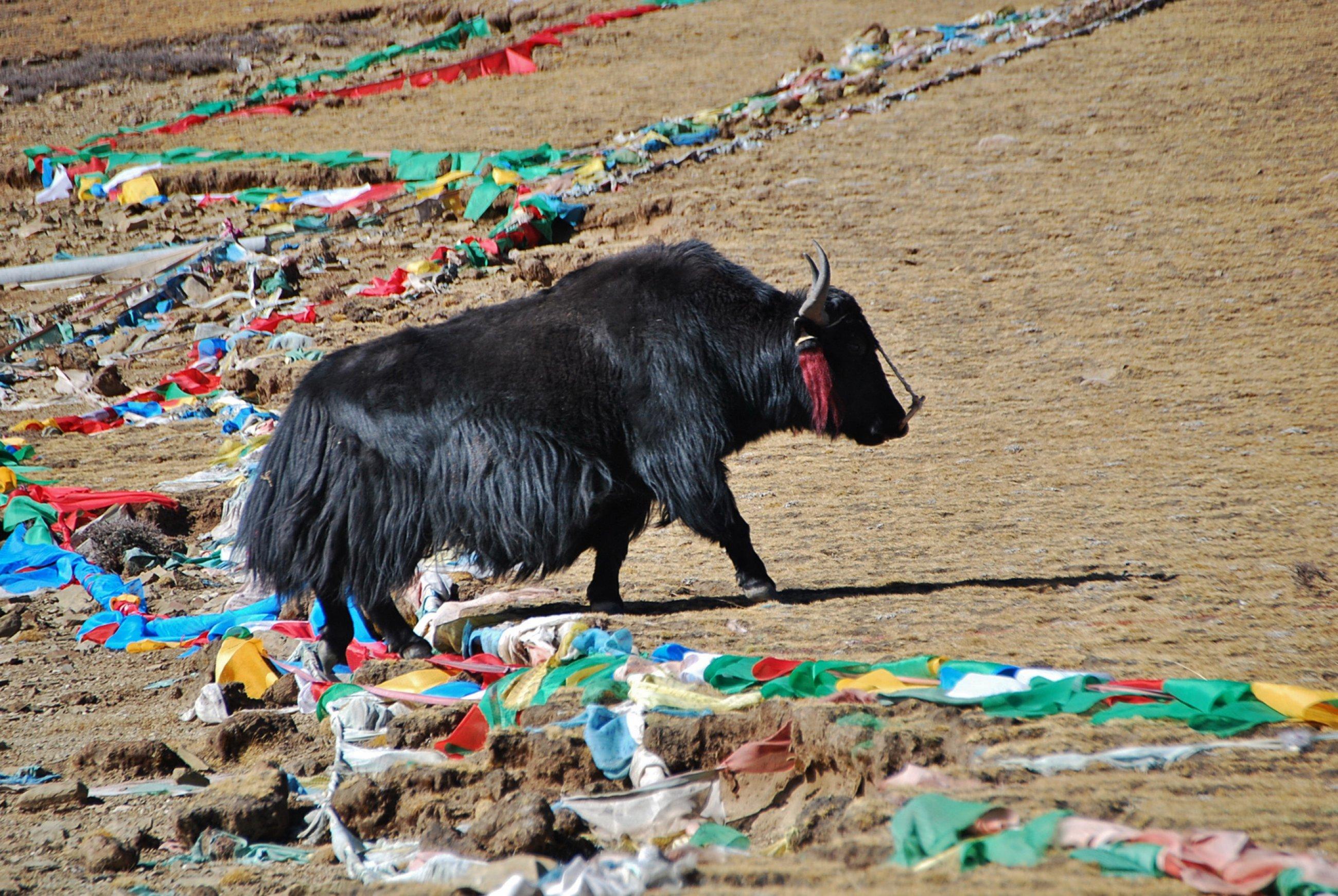 https://bubo.sk/uploads/galleries/16319/tibet-yamdrok-ctni-11-2014-mirka-sulka-218-.jpg