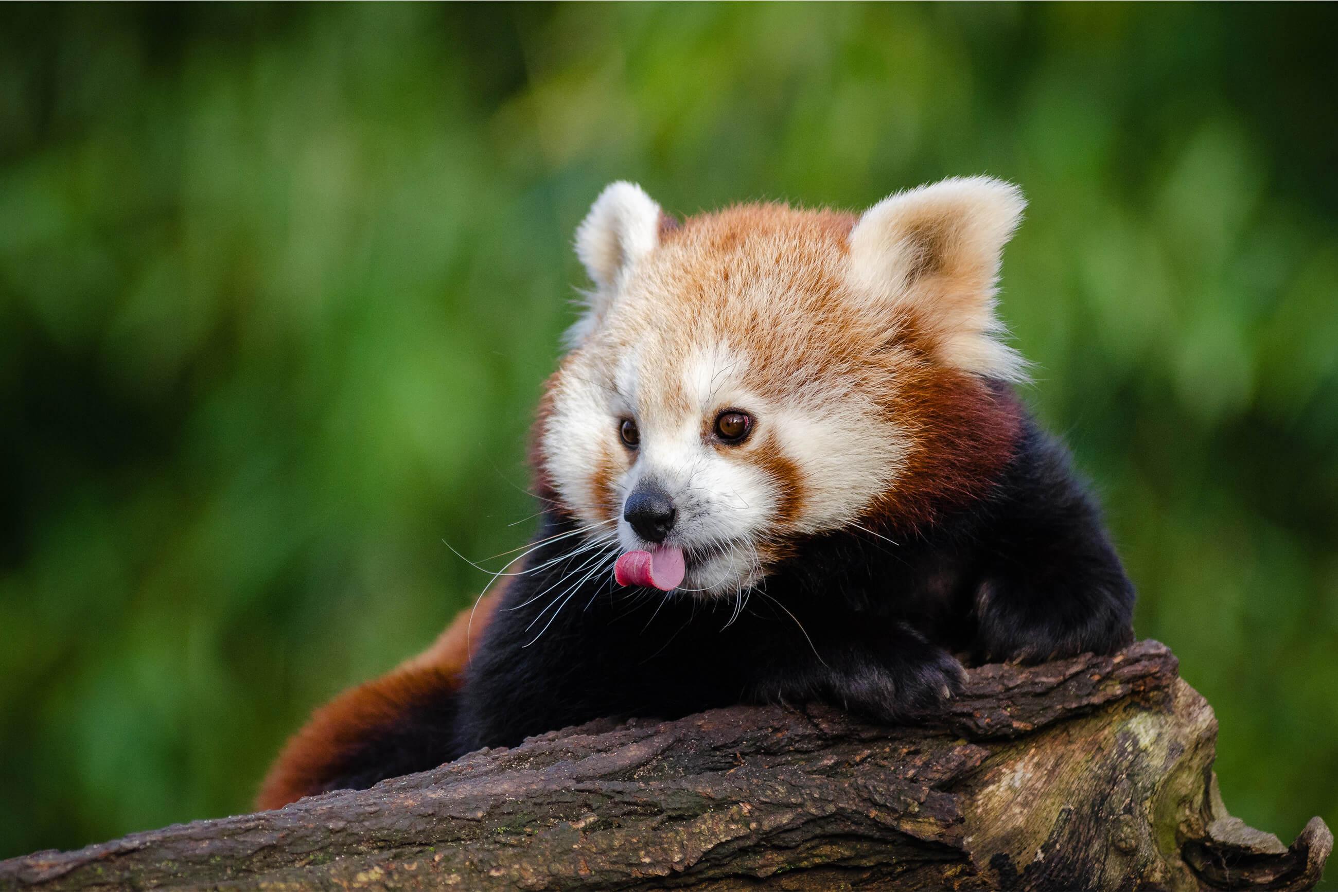 https://bubo.sk/uploads/galleries/4914/cervena-panda.jpg