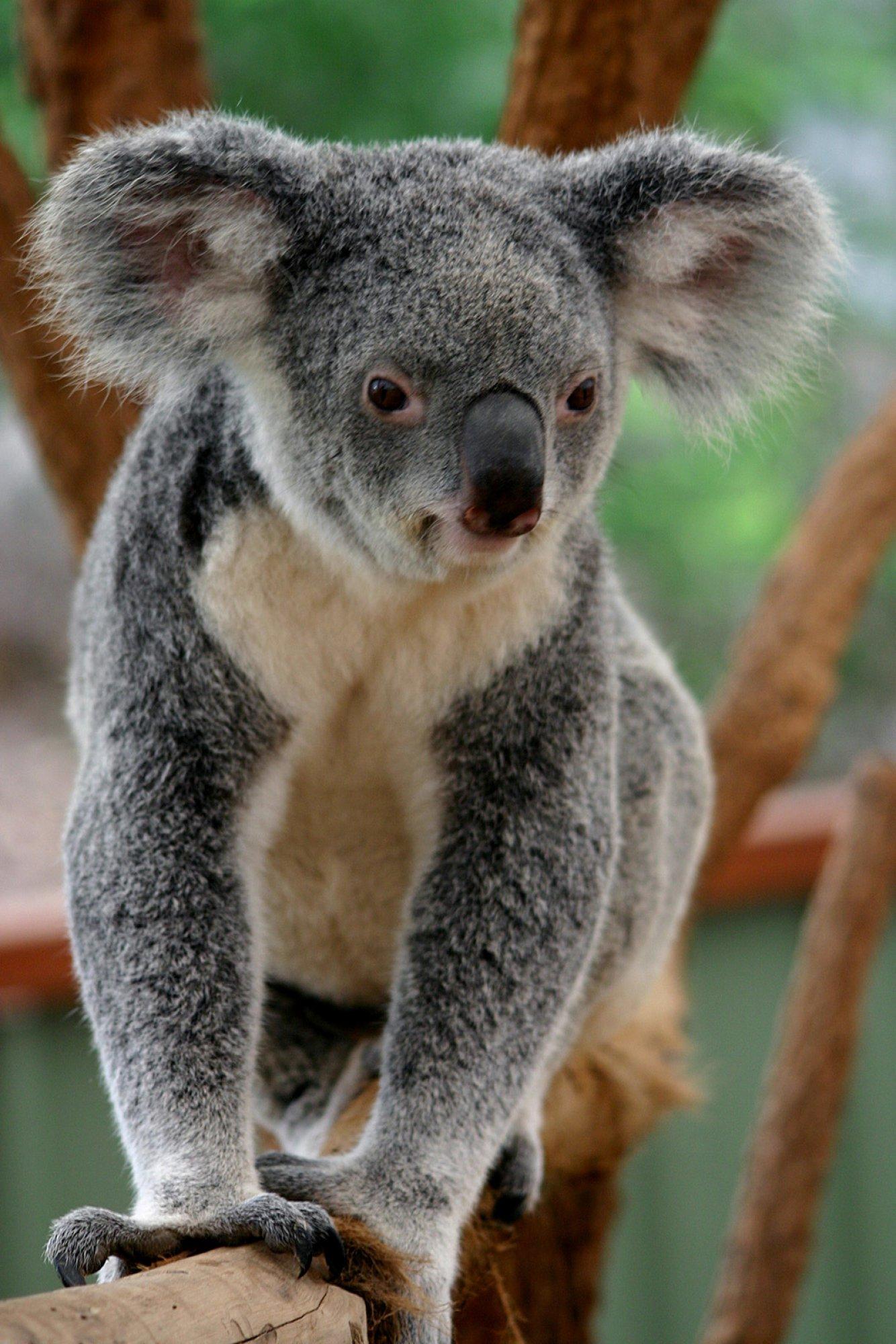 https://bubo.sk/uploads/galleries/5026/koala-dreamstime-xl-95213.jpg