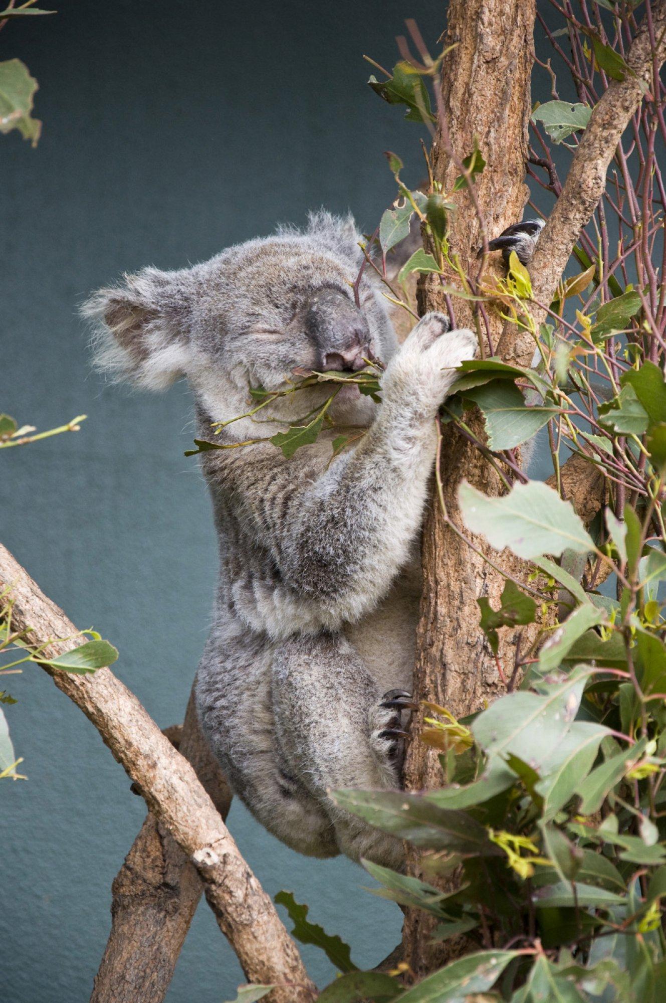 https://bubo.sk/uploads/galleries/5026/koala.jpg