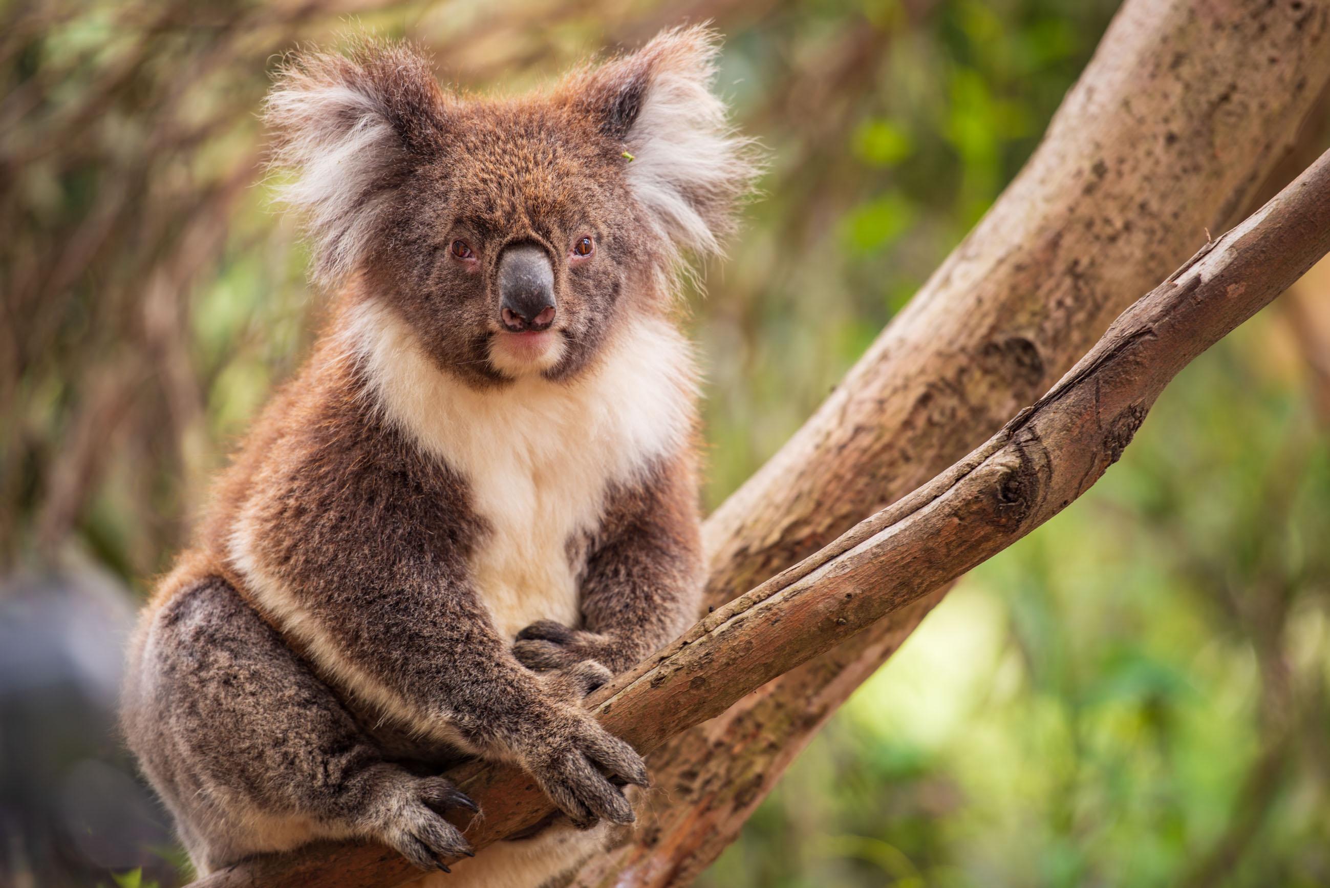 https://bubo.sk/uploads/galleries/5027/robert_taraba_koala.jpg