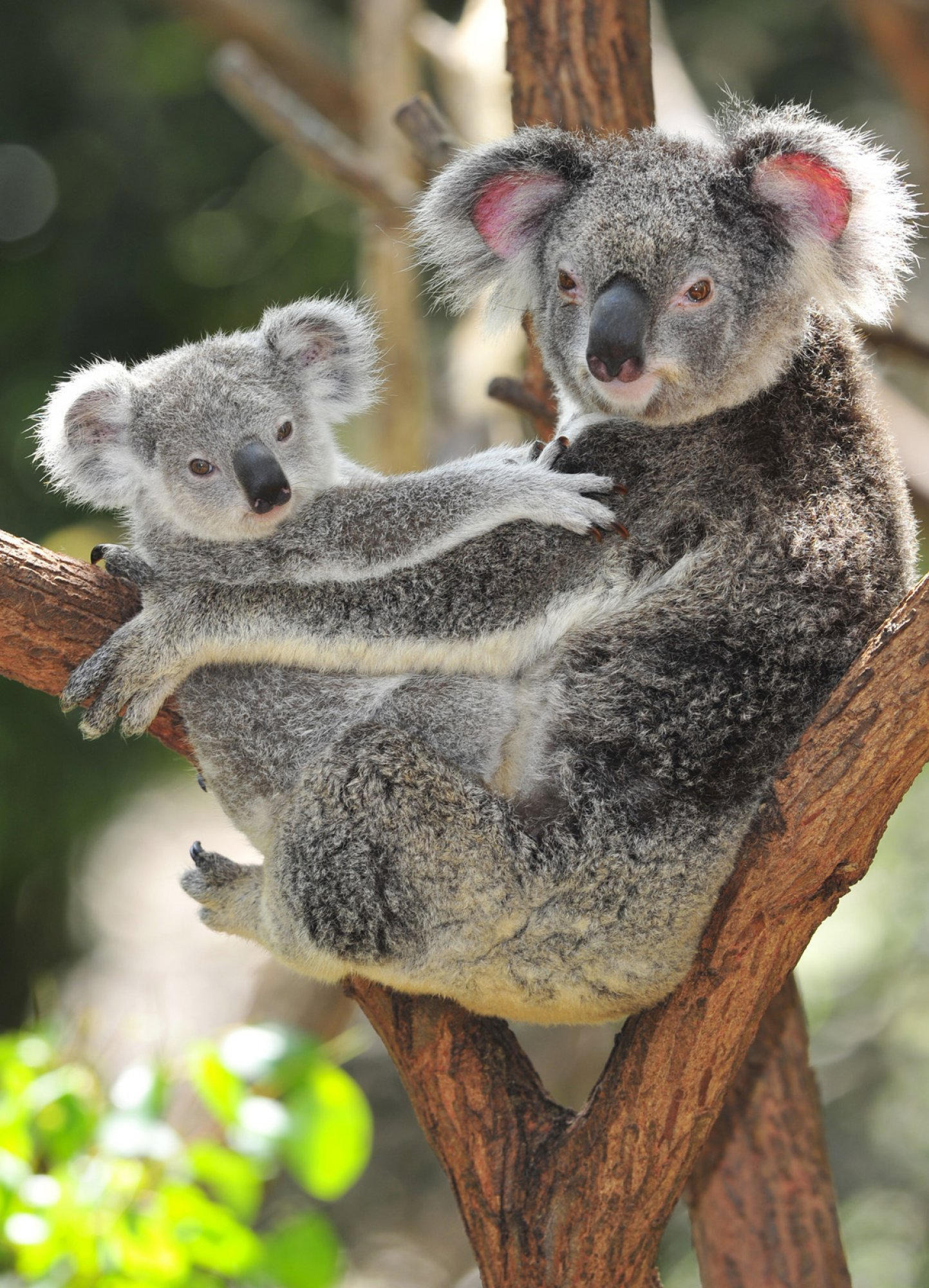 https://bubo.sk/uploads/galleries/5028/koala-dreamstime-xl-24313173.jpg