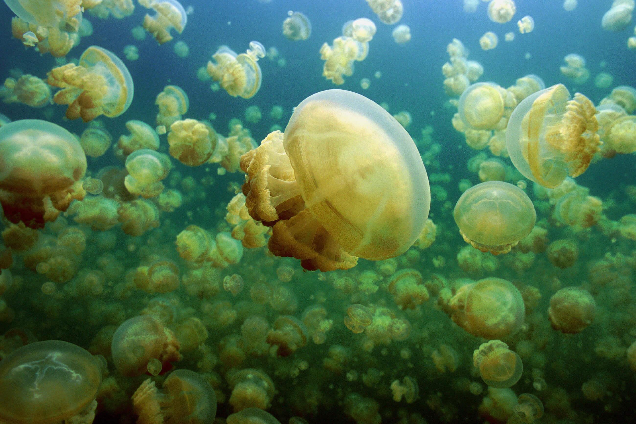 https://bubo.sk/uploads/galleries/7300/shutterstock_mikronezia_palau_jelyfish-lake_658715203-1-.jpg