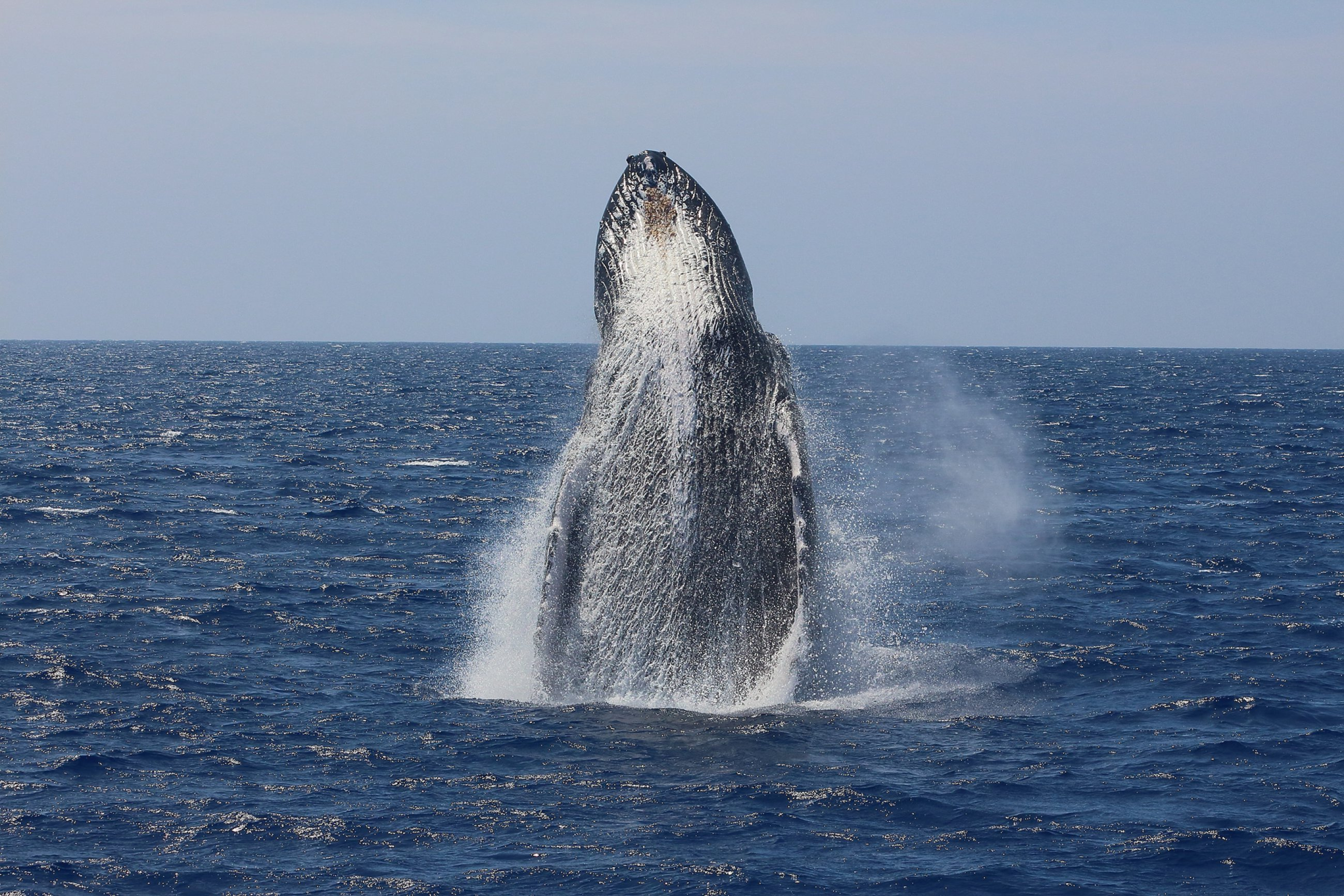 https://bubo.sk/uploads/galleries/7309/havaj-humpback-whale-megaptera-novaeangliae-breaching-out-of-the-water-in-maui.jpg