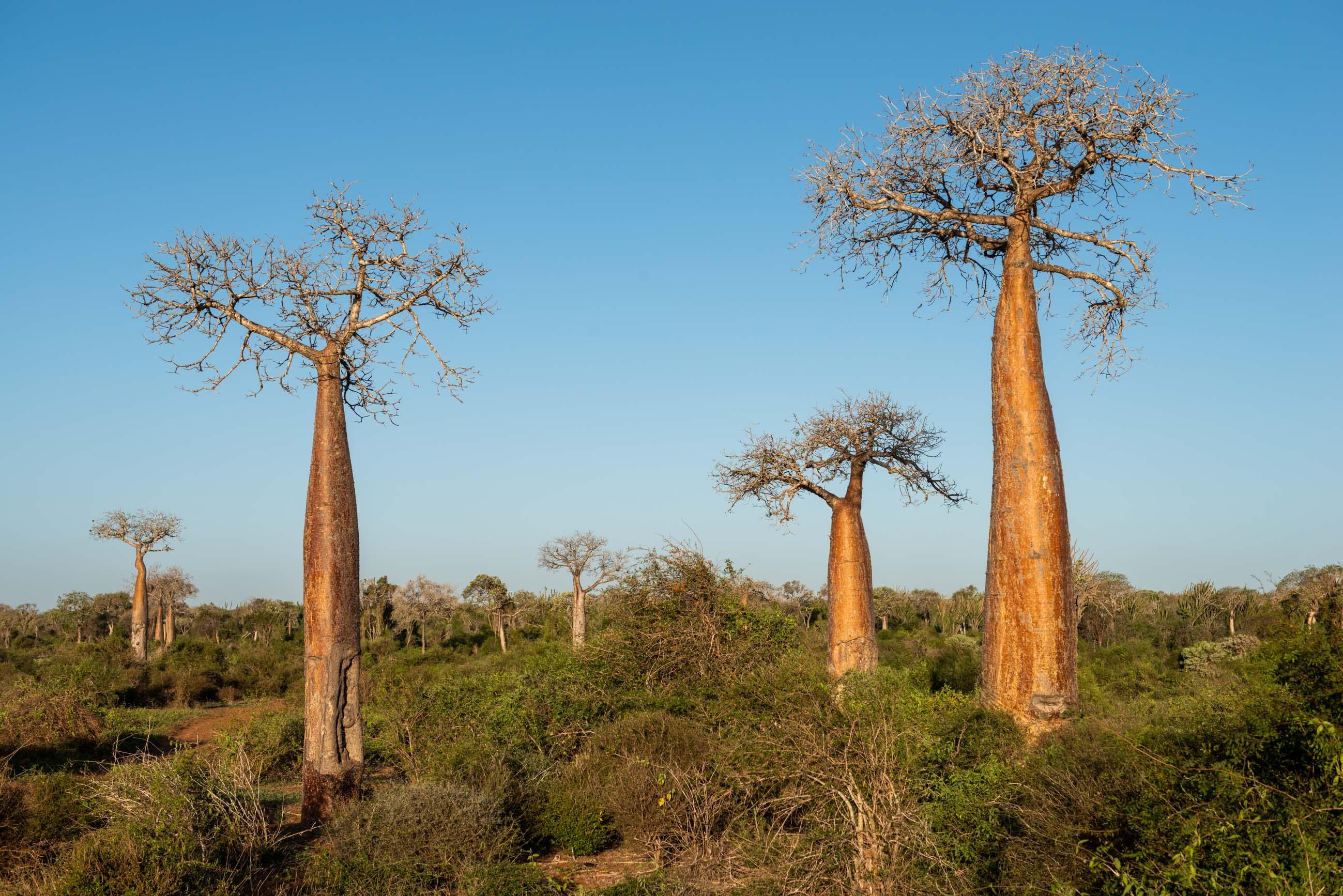 https://bubo.sk/uploads/galleries/7310/roberttaraba_madagaskar_baobab3-1---copy.jpg