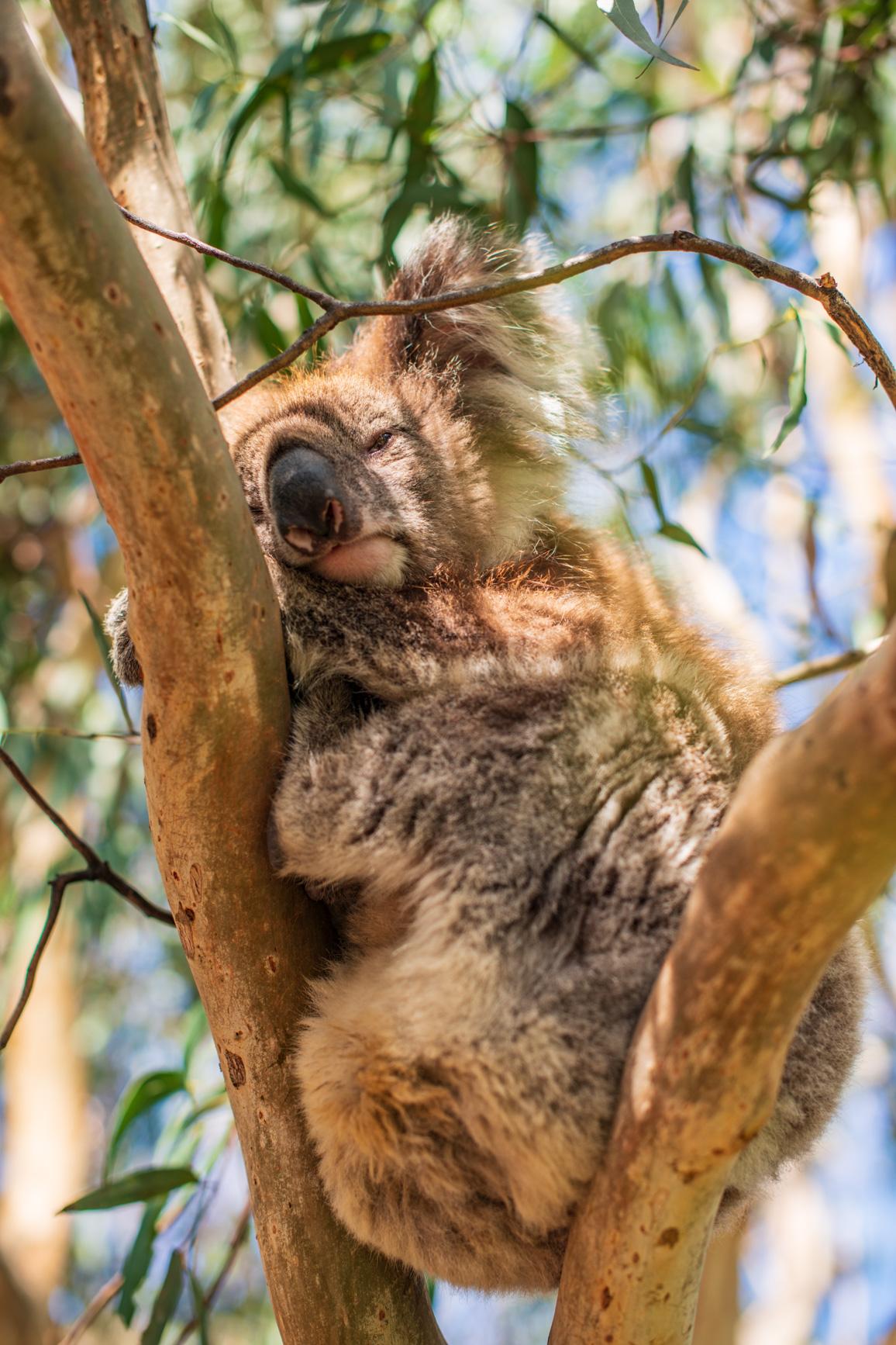 https://bubo.sk/uploads/galleries/7339/robert_taraba_koala2.jpg