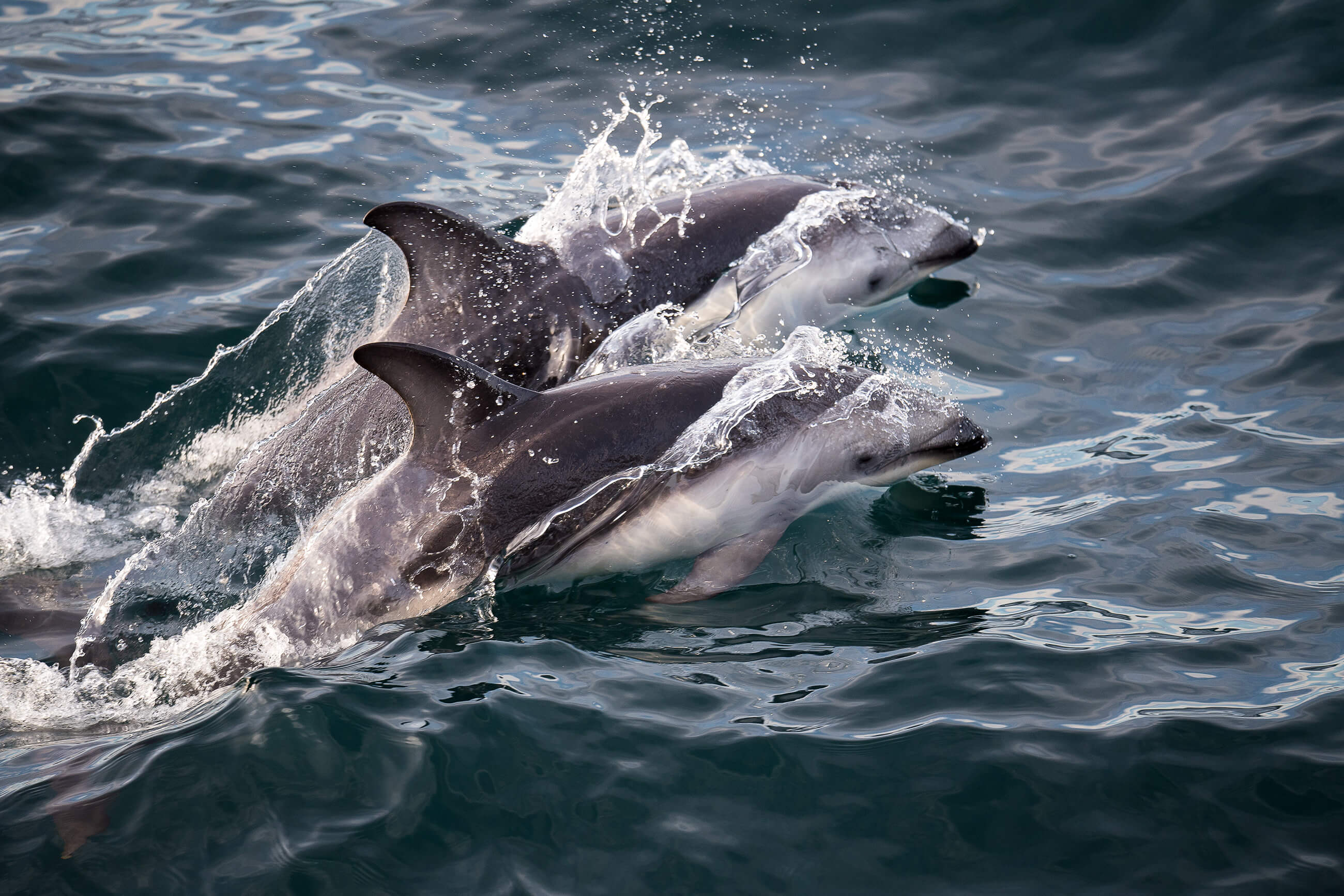 https://bubo.sk/uploads/galleries/7344/dolphin-puerto-madryn-patagonia-hgr-112300--photo_andreas_kalvig_anderson.jpg