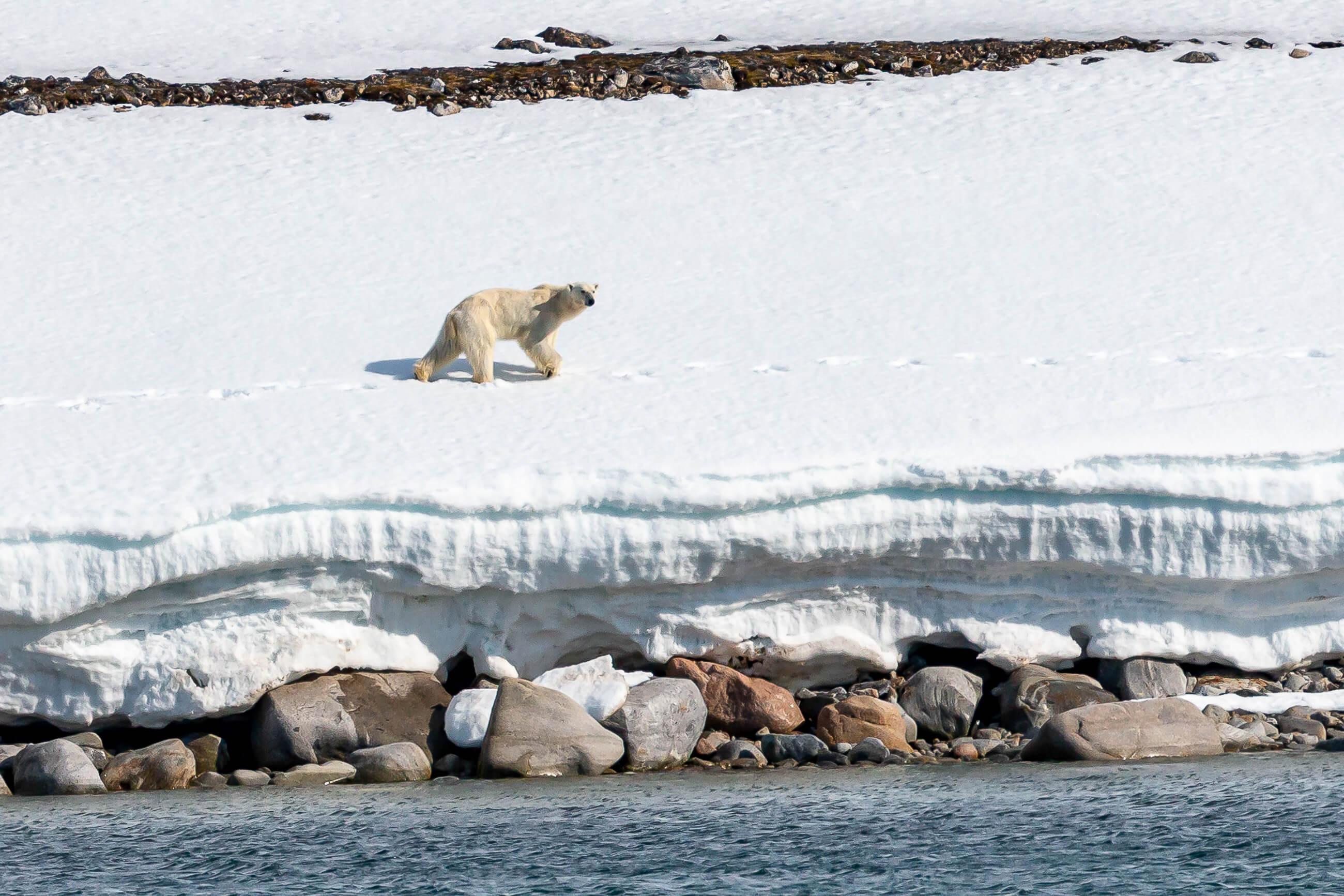 https://bubo.sk/uploads/galleries/7362/polar-bear-smeerenburg-svalbard-hgr-136956--photo_andrea_klaussner-49.jpg