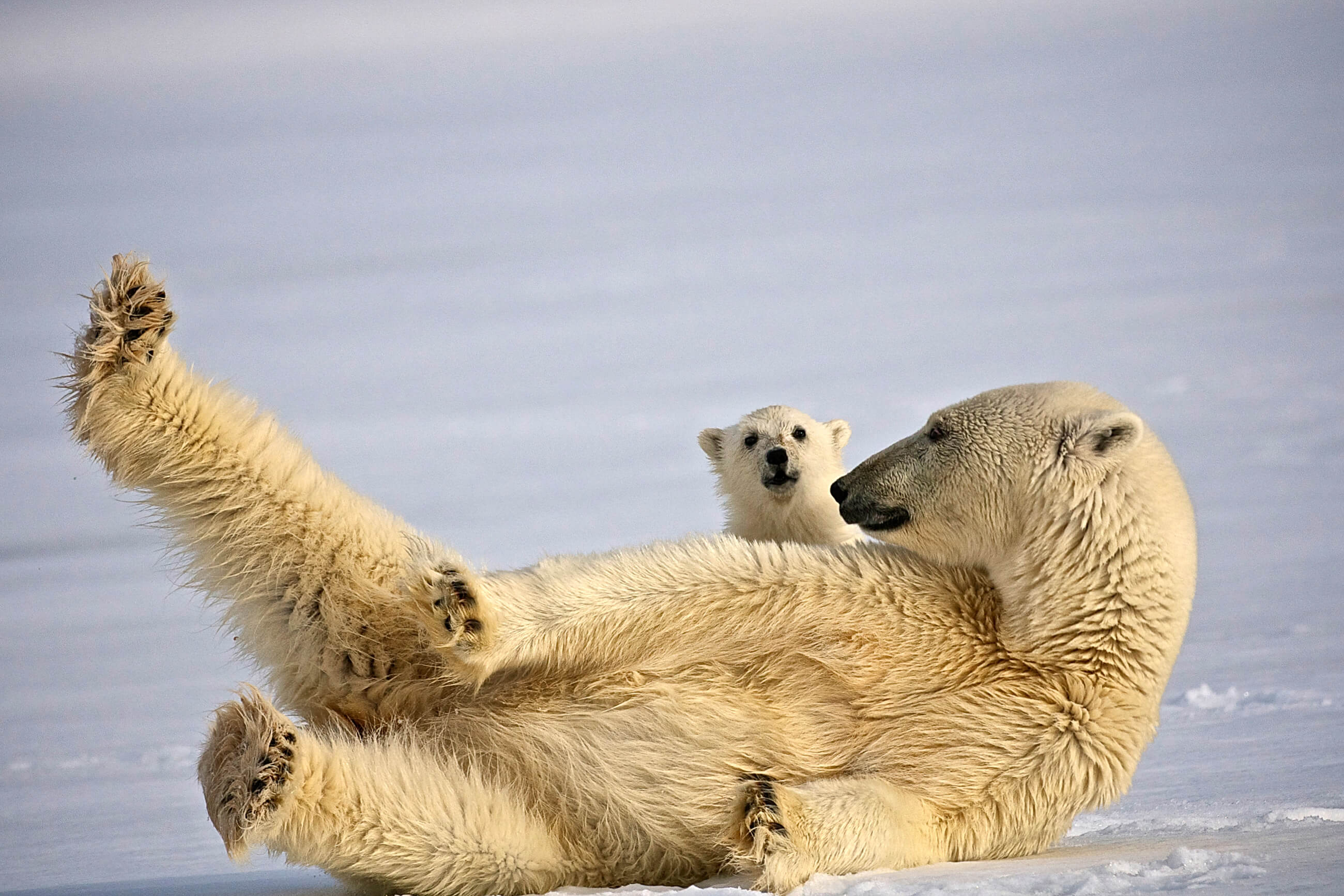 https://bubo.sk/uploads/galleries/7362/polar-bear-svalbard-hgr-31897--photo_dominic_barrington-3.jpg