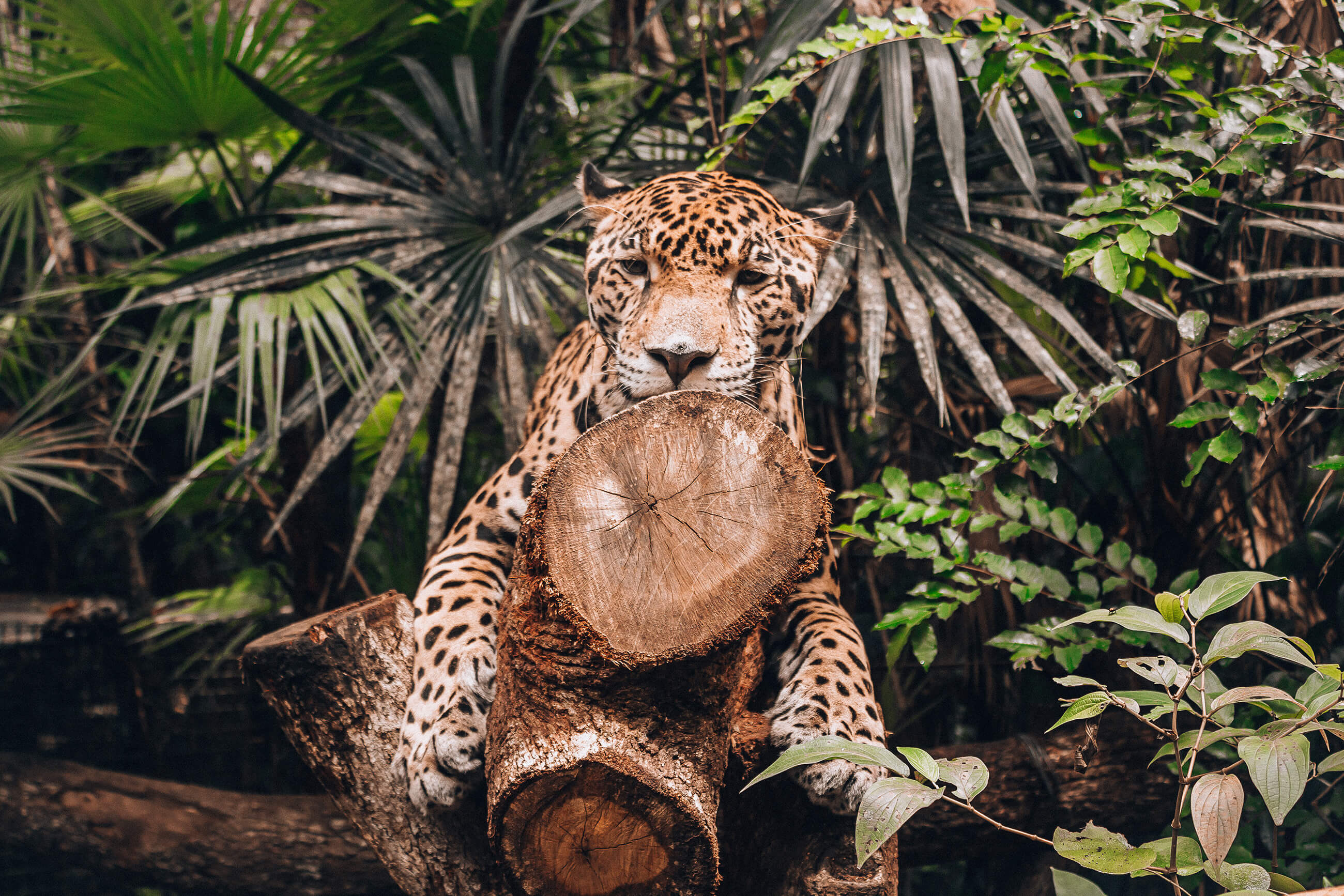 https://bubo.sk/uploads/galleries/7388/alenaspisakova_guatemala_jaguar_img_4902.jpg