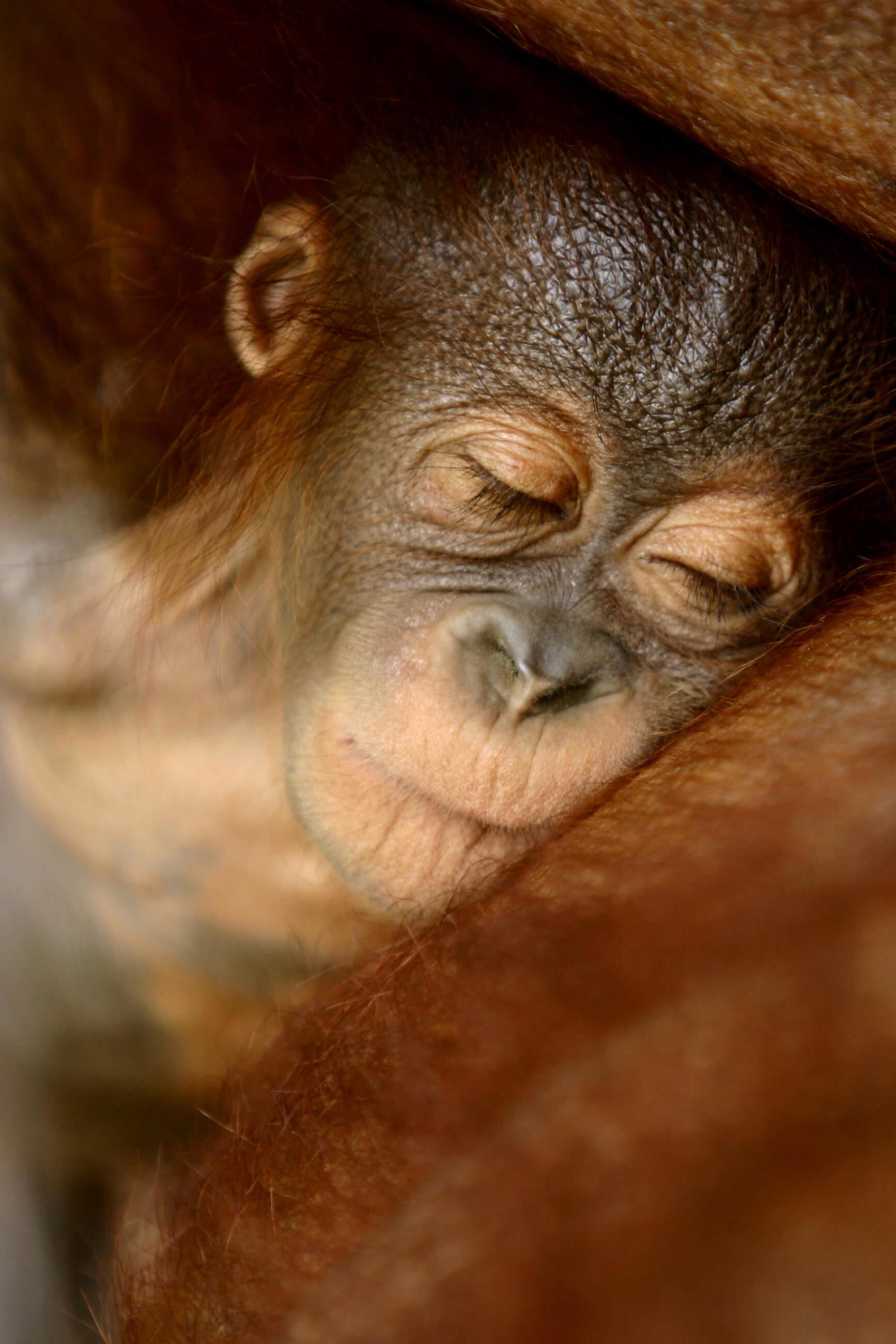 https://bubo.sk/uploads/galleries/7396/archiv_orangutan.jpg