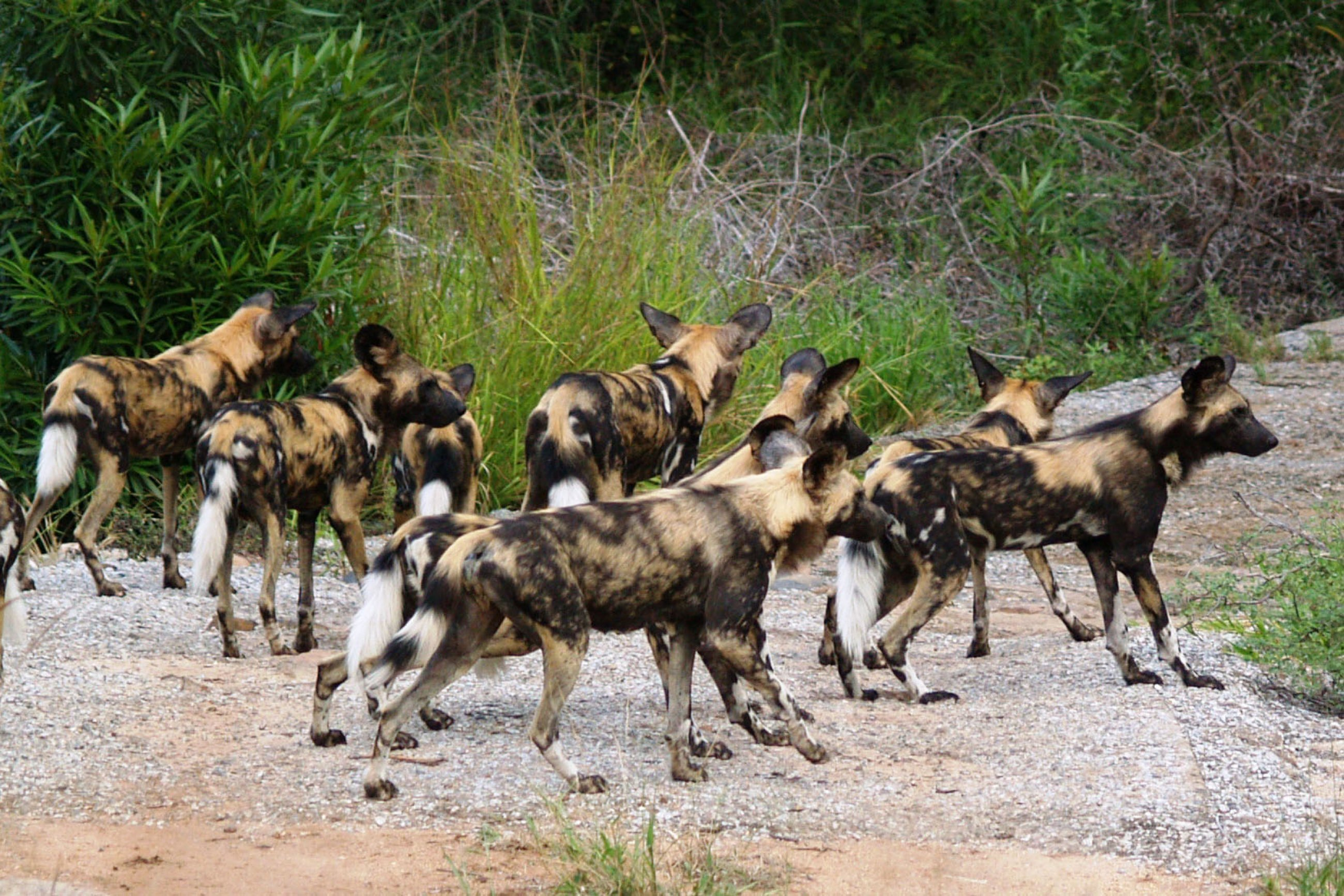 https://bubo.sk/uploads/galleries/7483/wild-dog-kruger-national-park-south-africa.jpg