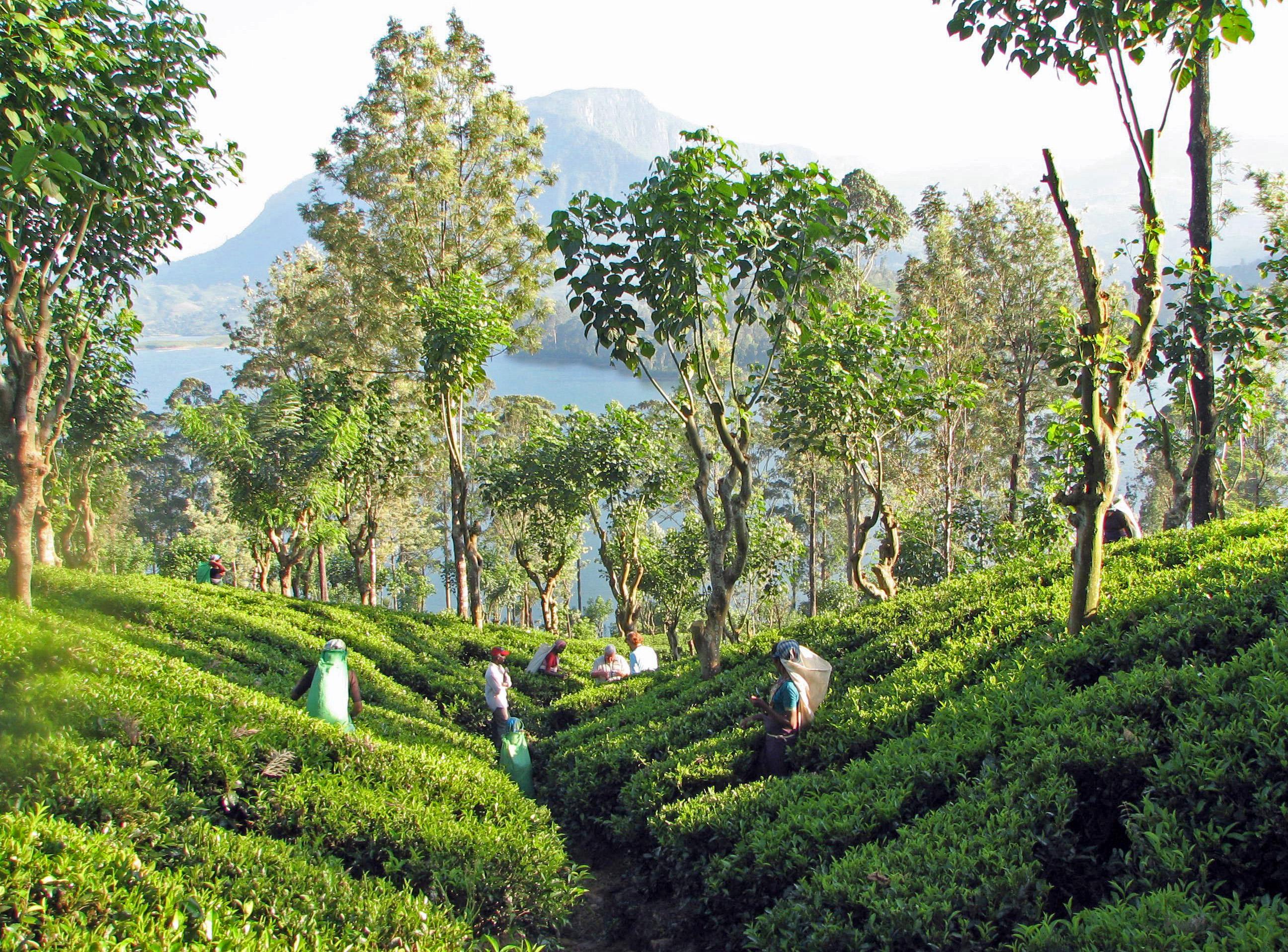 https://bubo.sk/uploads/galleries/7513/tea_plantation-_sri_lanka.jpg