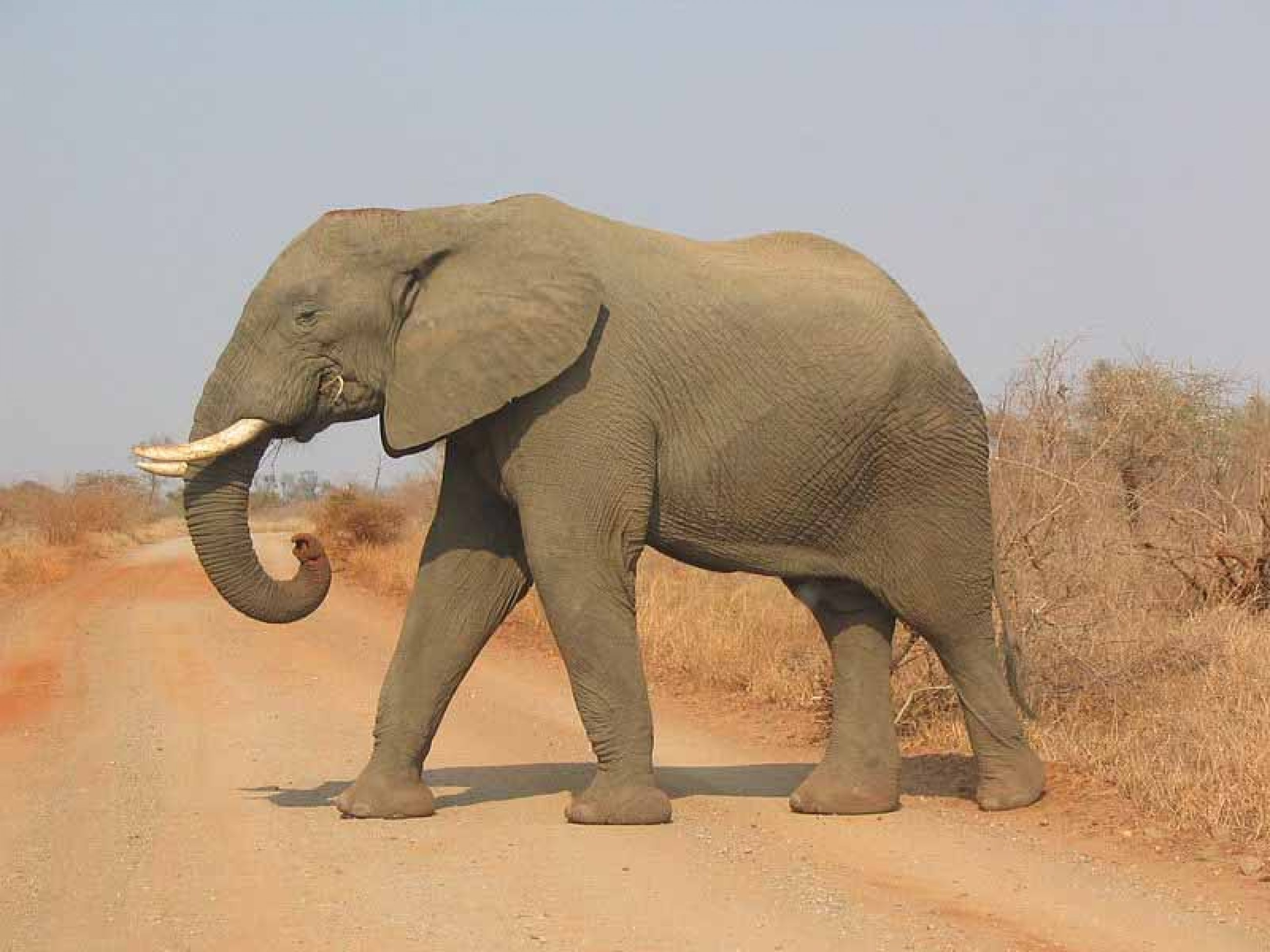 https://bubo.sk/uploads/galleries/7526/800px-elephant-side-view-kruger.jpg