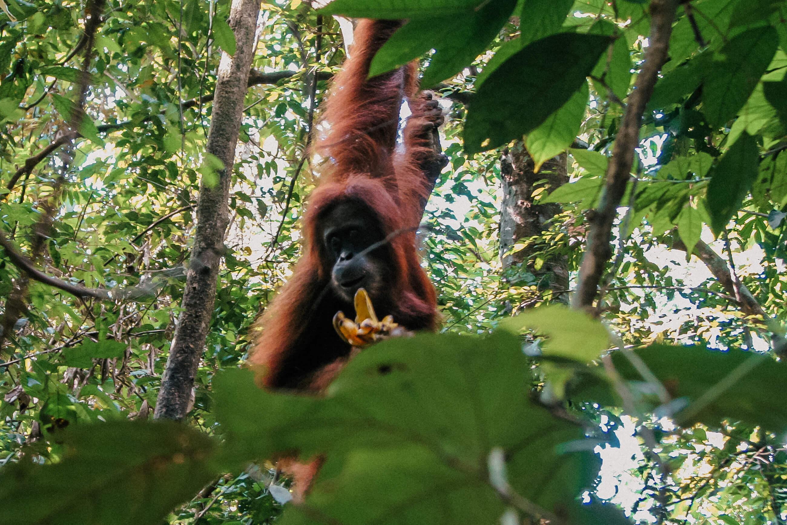 https://bubo.sk/uploads/galleries/7542/jozefharvanek_indonezia_sumatra_026-orangutany-v-bukit-lawangu-3.jpg