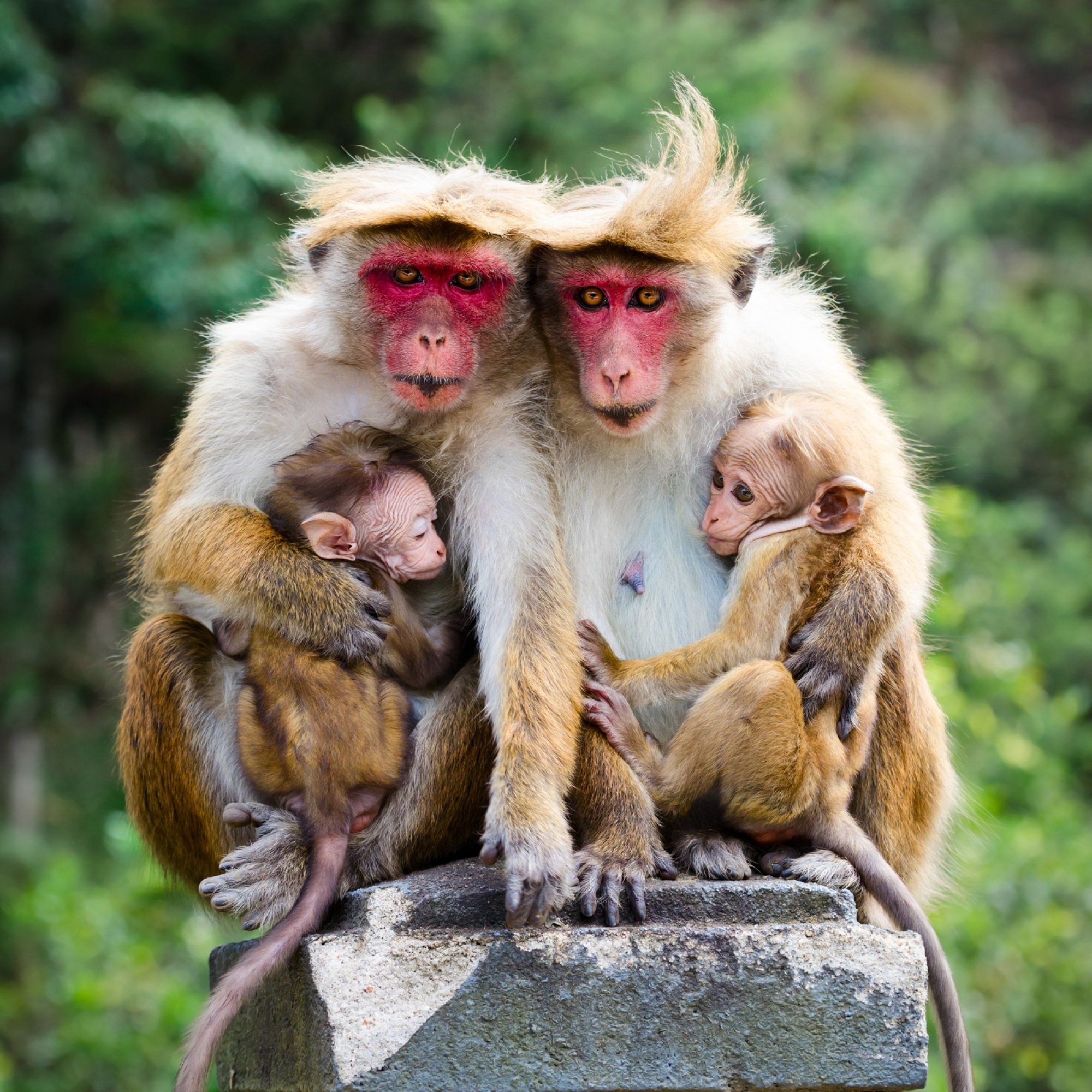 https://bubo.sk/uploads/galleries/7543/sri-lanka-monkey-family-with-two-babies-red-faces-macaque-macaca-fuscata.jpg